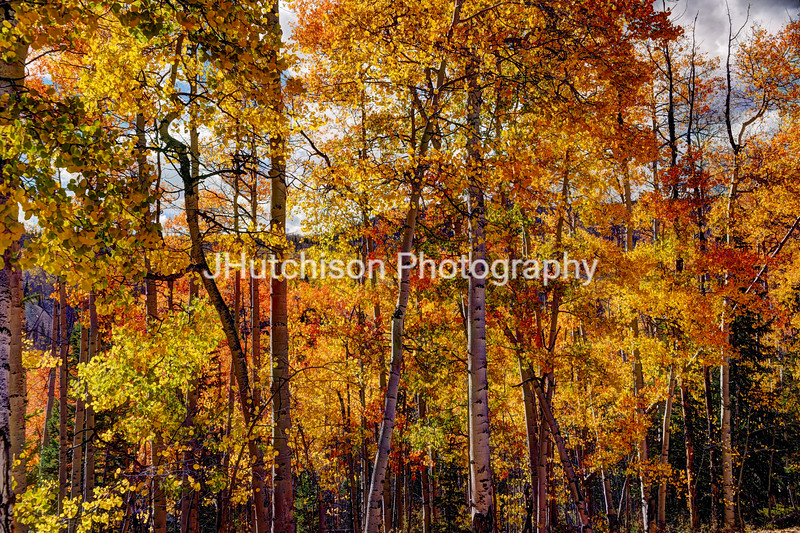 COL0028 - Aspens Ablaze in Autumn