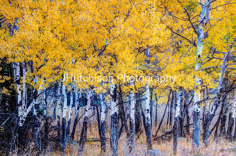COL0037 - Autumn Aspen Grove in RMNP