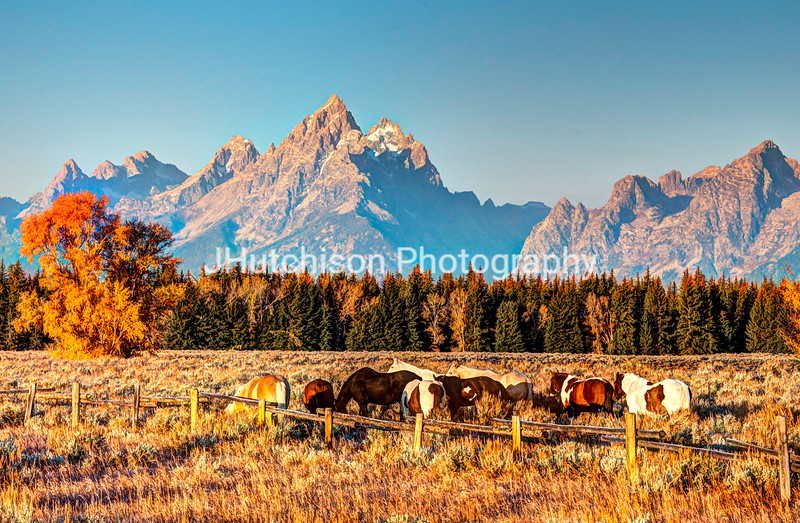 WY0034 - Autumn Grazing in the Tetons