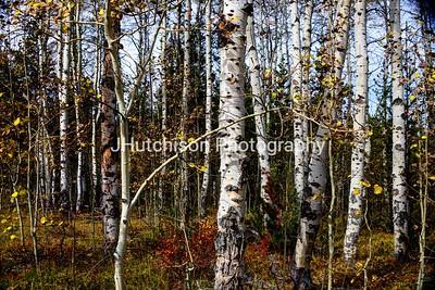 Wyoming Aspen Tree Trunks