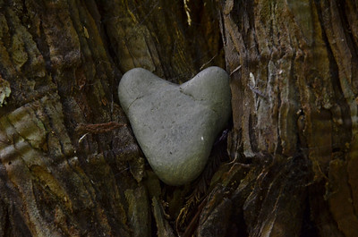 Found this heart-shaped heart nestled into the bark of a redwood...