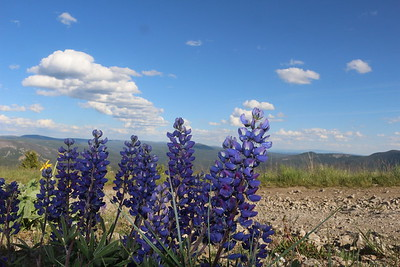 Lupine on  Monument Peak Lewis & Clark National Forest, Montana.