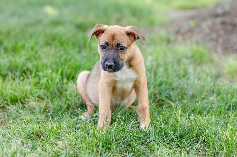 boxer-pup2i