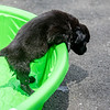 puppy-in-pool4