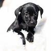 black-pup-b2