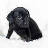 black-pup6