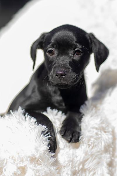 black-pup-b1