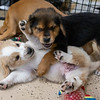puppies-playing3