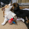 puppies-playing4