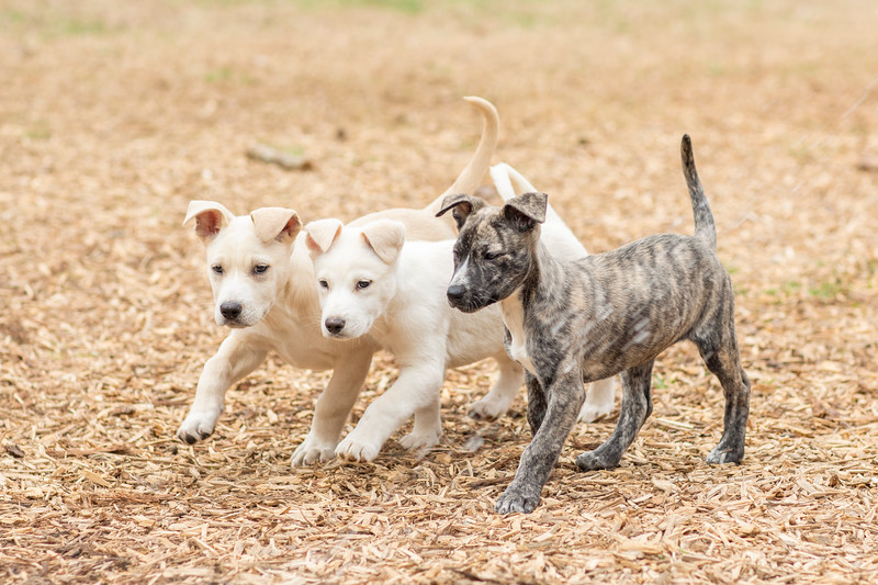 puppies-play6