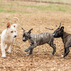 puppies-play5