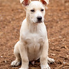 tan-white-large-puppy1