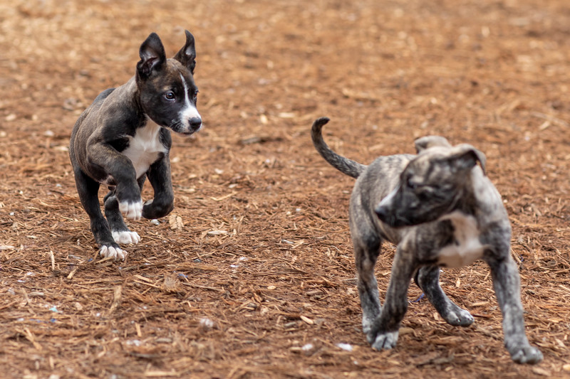 puppies-play7