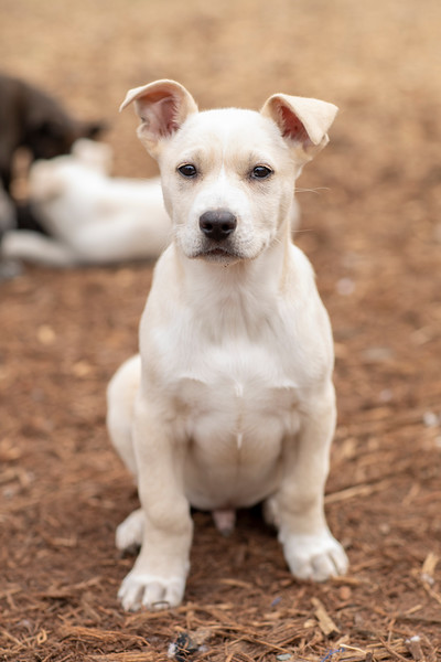 tan-white-large-puppy8