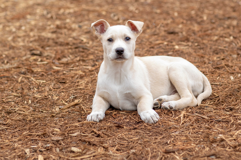 tan-white-large-puppy10