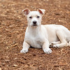 tan-white-large-puppy10