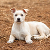 tan-white-large-puppy12