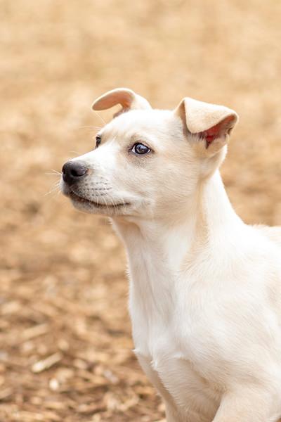 tan-white-large-puppy14