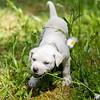white-puppy8