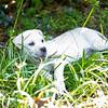 white-puppy4