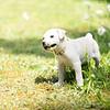 white-puppy6