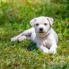 white-puppy9