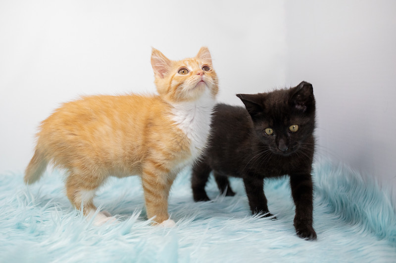 orange-tabby-black-fluffy1