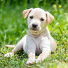 tan-puppy7
