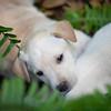 tan-puppy16