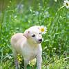 tan-puppy3