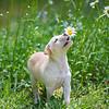 tan-puppy21