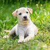 tan-puppy8