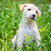 tan-puppy4