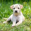 tan-puppy5