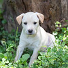 tan-puppy13