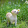 tan-puppy19