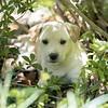tan-puppy18