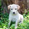 tan-puppy15