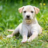 tan-puppy6