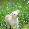 tan-puppy2