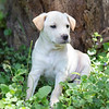 tan-puppy11