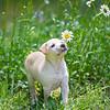 tan-puppy23