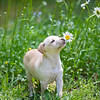 tan-puppy22