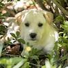 tan-puppy17