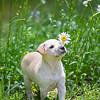 tan-puppy1