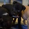 pups-eating