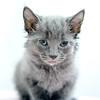 grey-longhair4