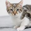 white-brown-tabby6