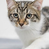 white-brown-tabby2
