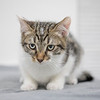 white-brown-tabby1